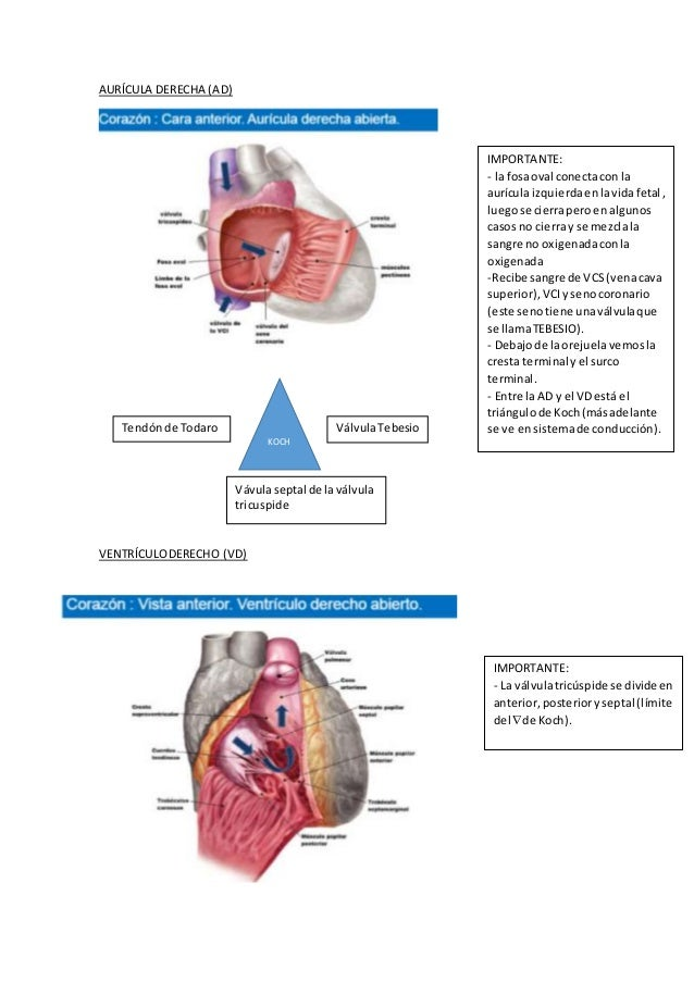 Anatomía cardio