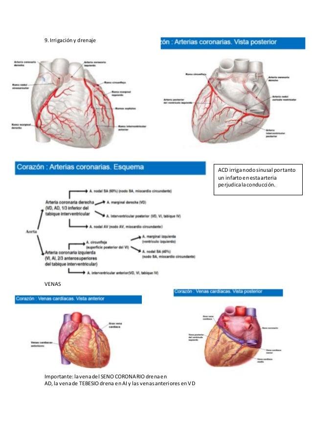 Perfecto Anatomía Del Seno Coronario Componente - Anatomía de Las ...