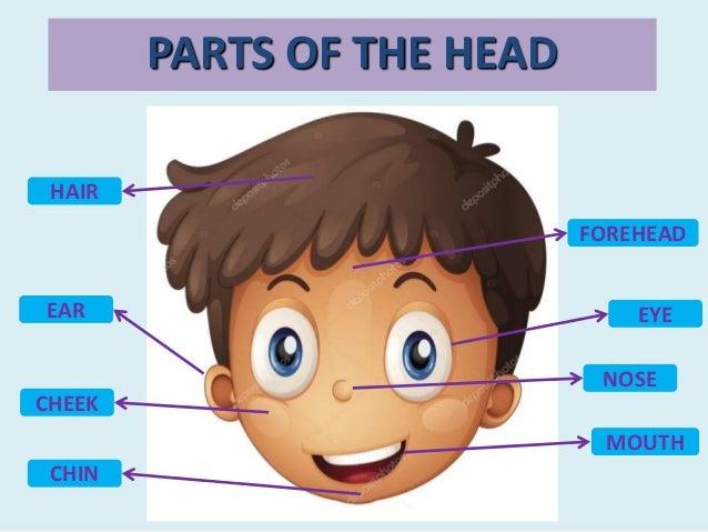 HAIR EAR MOUTH CHIN FOREHEAD CHEEK EYE NOSE PARTS OF THE HEAD