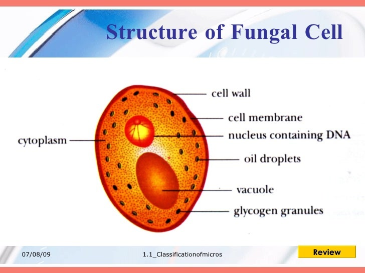fungi cell diagram schema wiring diagram online Fungal Cell Drawing fungal cell diagram simple wiring schema basic structure of fungi fungi cell diagram