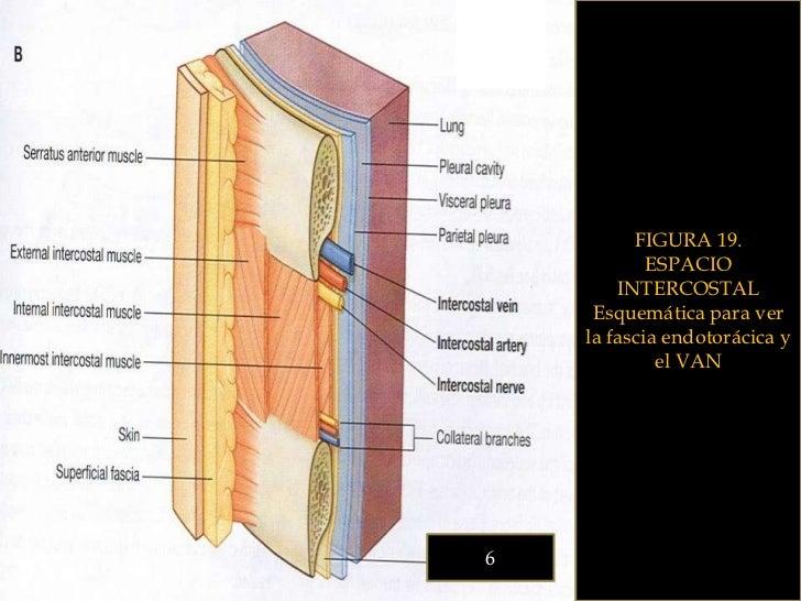 1.2 pared toracica esqueleto y espacios intercostales