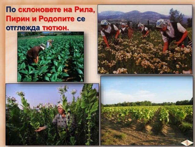 Условията по черноморското крайбрежие са благоприятни за отглеждане на: план лозя овощни култури зеленчуци