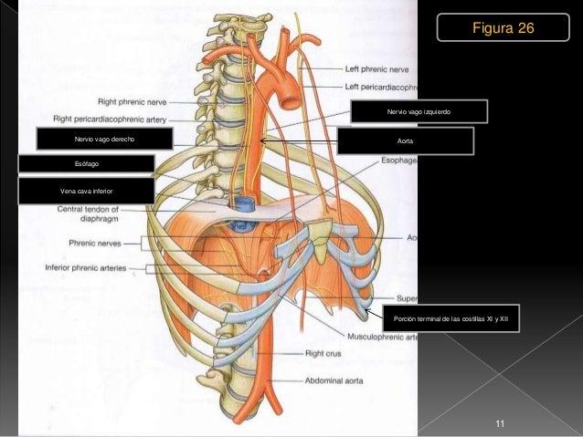 1 3 torax diafragma