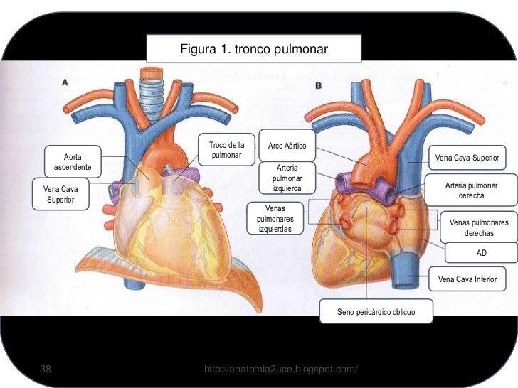 1.4 cavidad pleural y pulmones pleuras, pulmones, bronquios y vasos s…