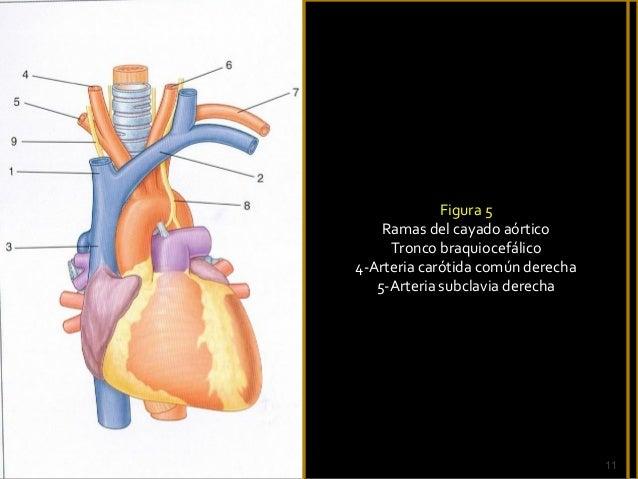 1 5-arterias y venas del tronco