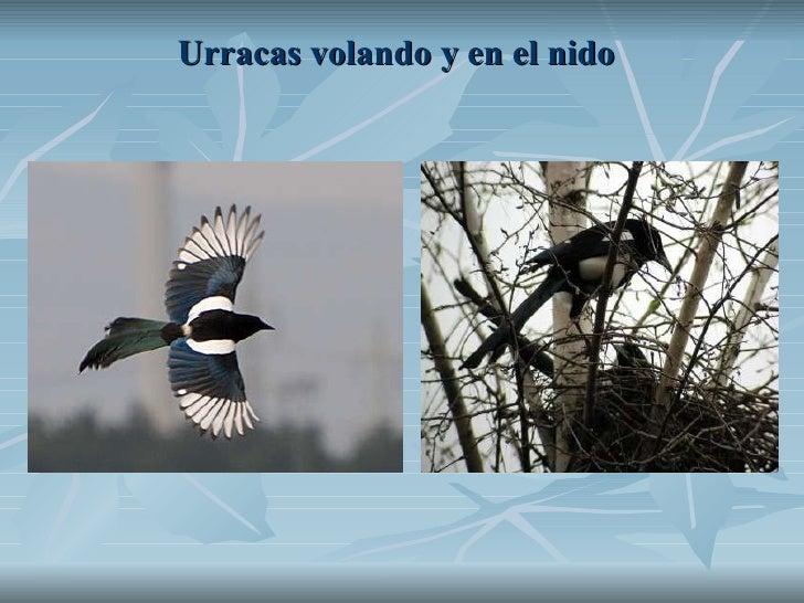 Urracas volando y en el nido