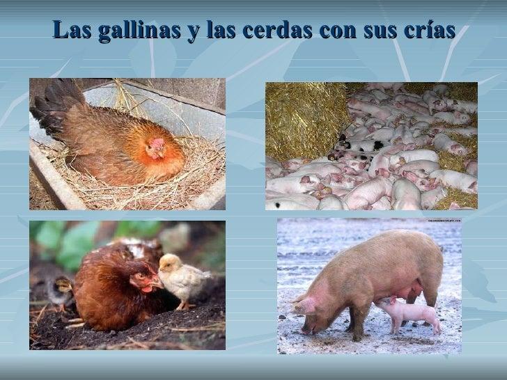Las gallinas y las cerdas con sus crías