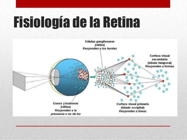 1. anatomía y fisiología del aparato ocula r