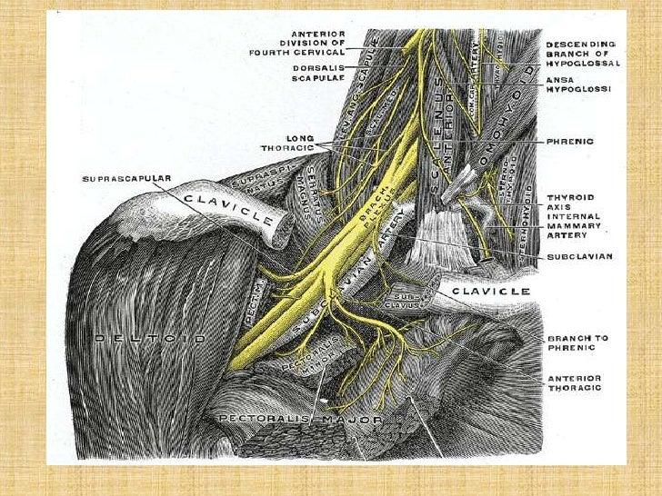 1 Brachial Plexus Its Applied Anatomy1