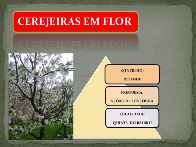 CEREJEIRAS EM FLOR CONCELHO: RESENDE FREGUESIA: S.JOÃO DE FONTOURA LOCALIDADE: QUINTA DO BAIRRO