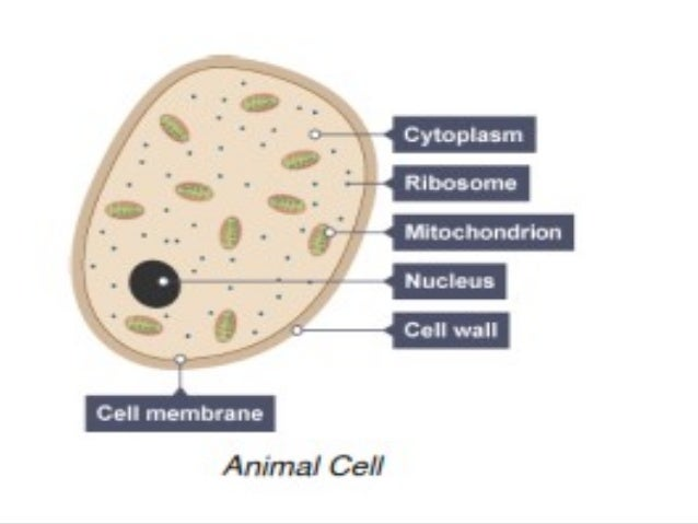 1 edexcel igcse human biology -cell and tissues