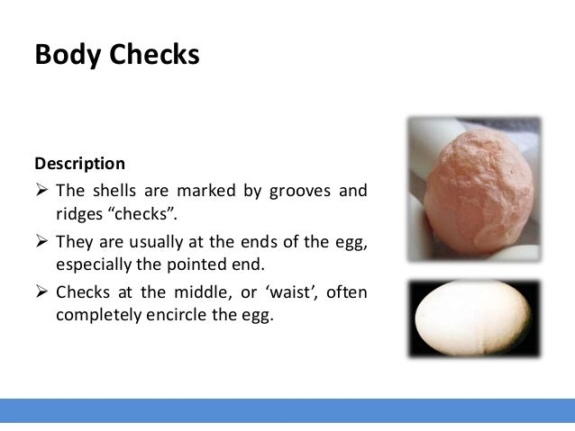 """Body Checks Description  The shells are marked by grooves and ridges """"checks"""".  They are usually at the ends of the egg,..."""