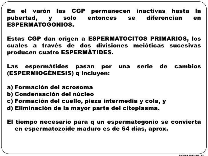 En el varón las CGP permanecen inactivas hasta la pubertad, y solo entonces se diferencian en ESPERMATOGONIOS.<br />Estas ...