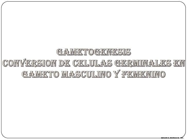 GAMETOGENESIS<br />CONVERSION DE CELULAS GERMINALES EN GAMETO MASCULINO Y FEMENINO<br />EDGAR H. MURCIA M.  MV.<br />