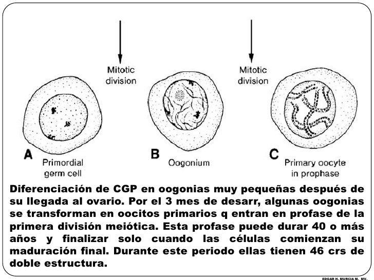 Diferenciación de CGP en oogonias muy pequeñas después de su llegada al ovario. Por el 3 mes de desarr, algunas oogonias s...