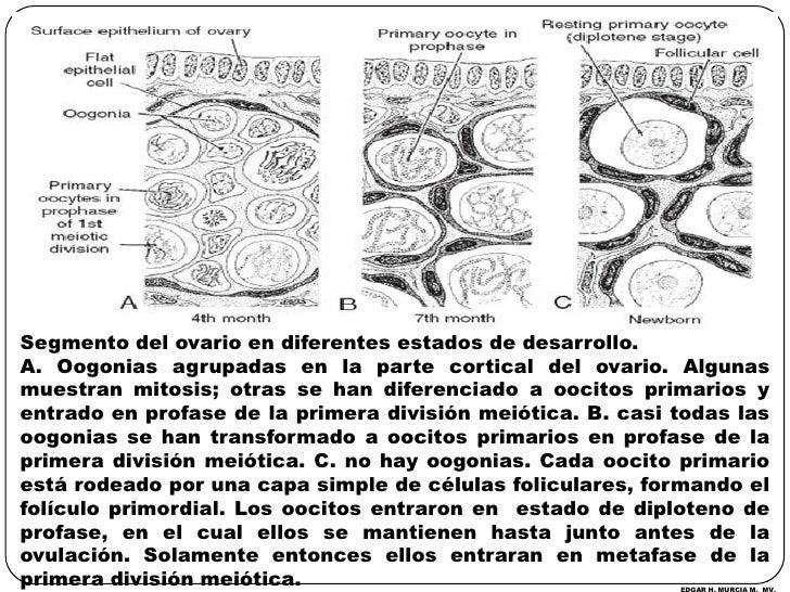 Segmento del ovario en diferentes estados de desarrollo.<br />A. Oogonias agrupadas en la parte cortical del ovario. Algun...
