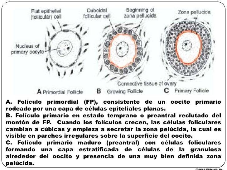 A. Folículo primordial (FP), consistente de un oocito primario rodeado por una capa de células epiteliales planas.<br />B....