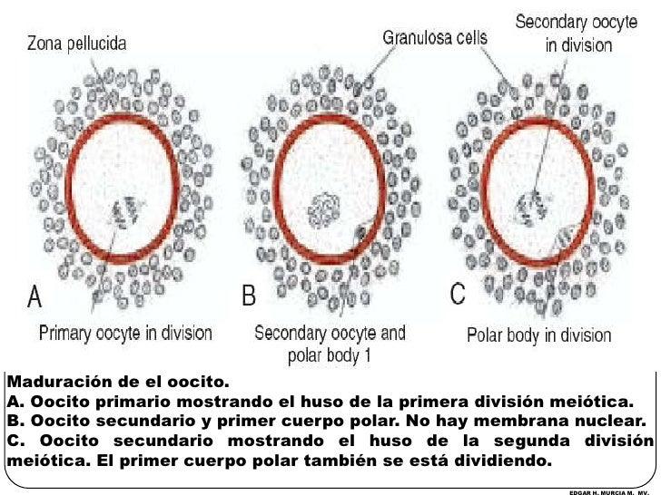 Maduración de el oocito. <br />A. Oocito primario mostrando el huso de la primera división meiótica.<br />B. Oocito secund...