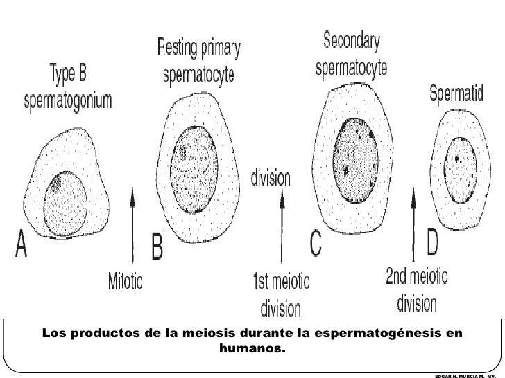 Los productos de la meiosis durante la espermatogénesis en humanos.<br />EDGAR H. MURCIA M.  MV.<br />
