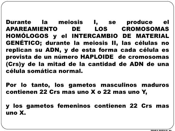 Durante la meiosis I, se produce el APAREAMIENTO DE LOS CROMOSOMAS HOMÓLOGOS y el INTERCAMBIO DE MATERIAL GENÉTICO; durant...