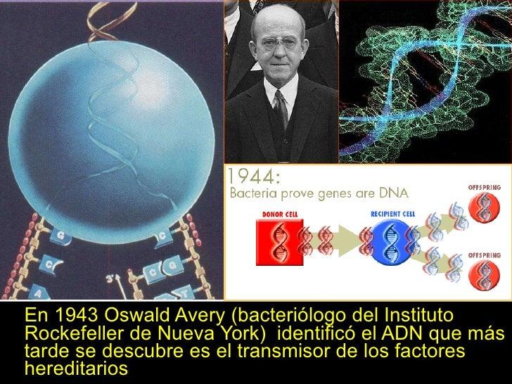 <ul><li>En 1943 Oswald Avery (bacteriólogo del Instituto Rockefeller de Nueva York)  identificó el ADN que más tarde se de...