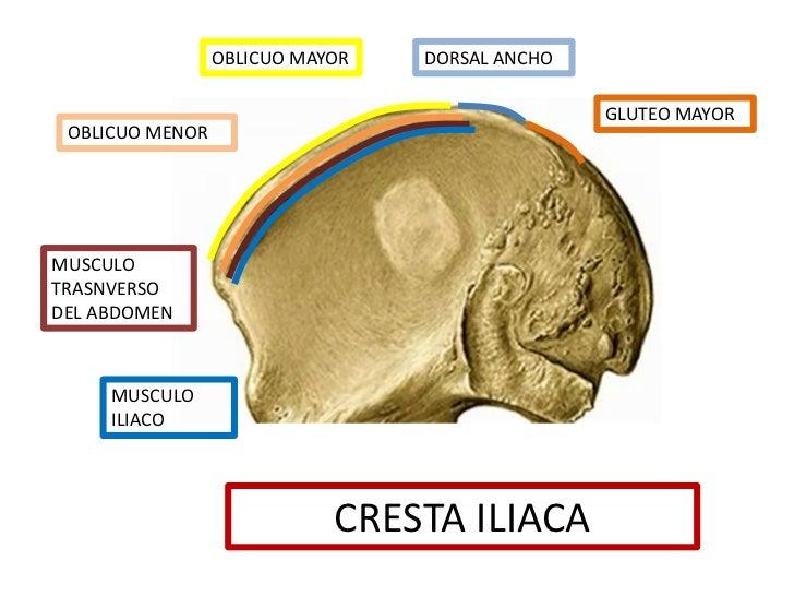 Perfecto Cresta Ilíaca Posterior Componente - Anatomía de Las ...