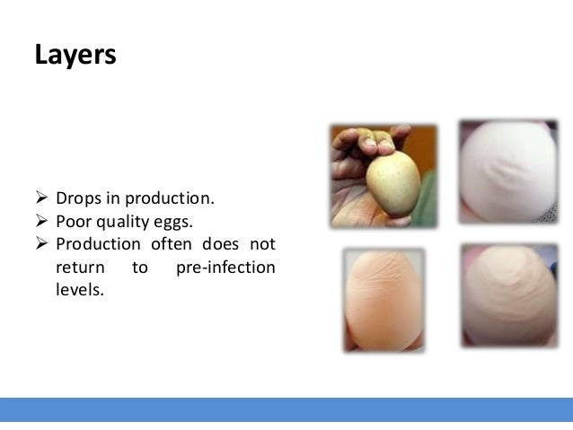 Layers  Drops in production.  Poor quality eggs.  Production often does not return to pre-infection levels.