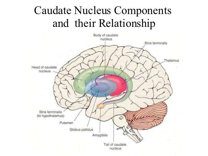 Caudate Nucleus And Fornix 1. Introducció...