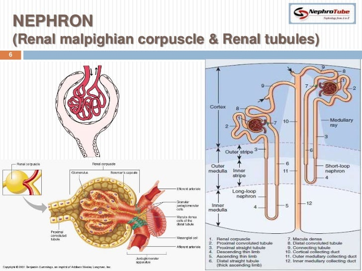 Renal Physiology (I) - Kidney Function & Physiological Anatomy