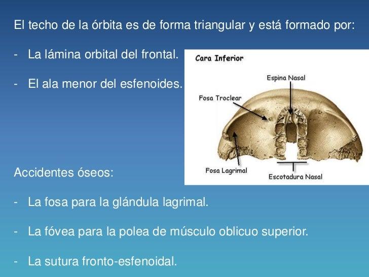 1. orbita anatomia