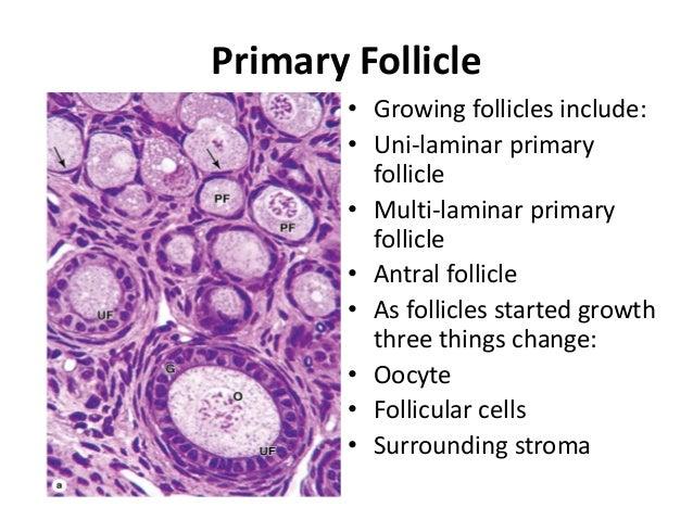 Mature ovarian follicle size