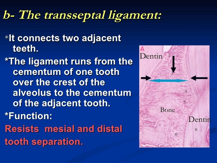 b- The transseptal ligament:*It connects two adjacent  teeth.                            Dentin*The ligament runs from the...
