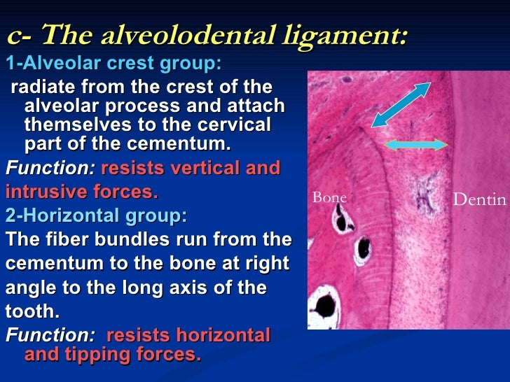 c- The alveolodental ligament:1-Alveolar crest group: radiate from the crest of the   alveolar process and attach   themse...