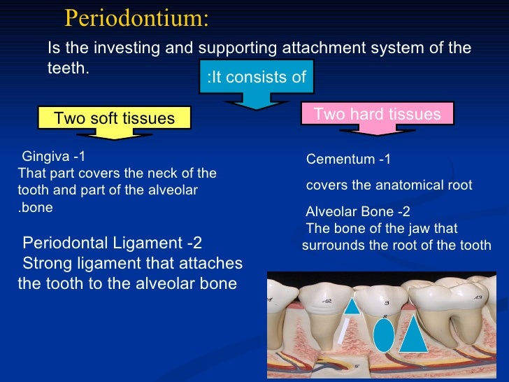 Periodontium:    Is the investing and supporting attachment system of the    teeth.                          :It consists ...