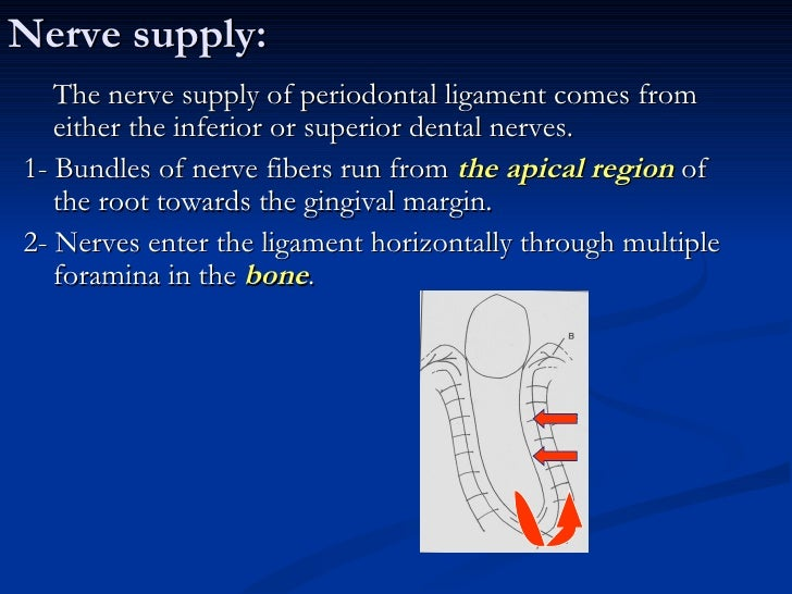 *Blood vessels and all the components of theligament act together as a hydraulic damperor shock absorber with the groundsu...