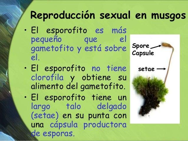 Reproduccion de los musgos asexual and sexual reproduction
