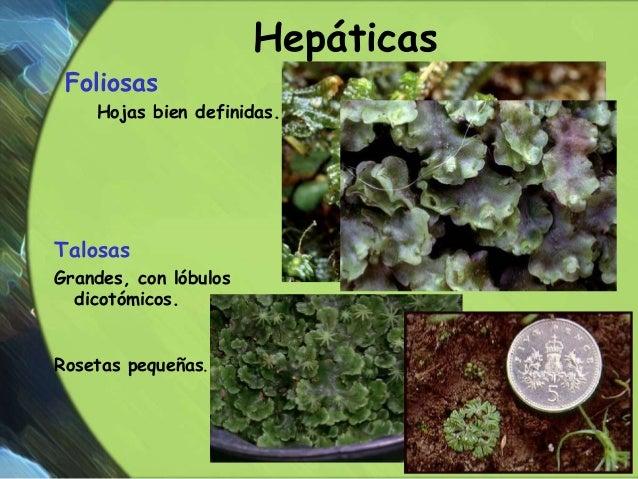 Hepaticas reproduccion asexual de las plantas