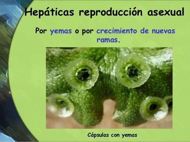 Hepaticas reproduccion asexual