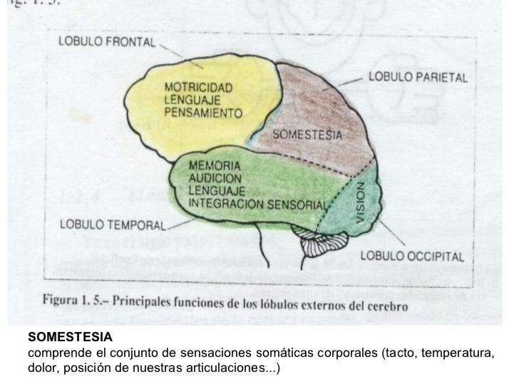 SOMESTESIA   comprende el conjunto de sensaciones somáticas corporales (tacto, temperatura, dolor, posición de nuestras ar...