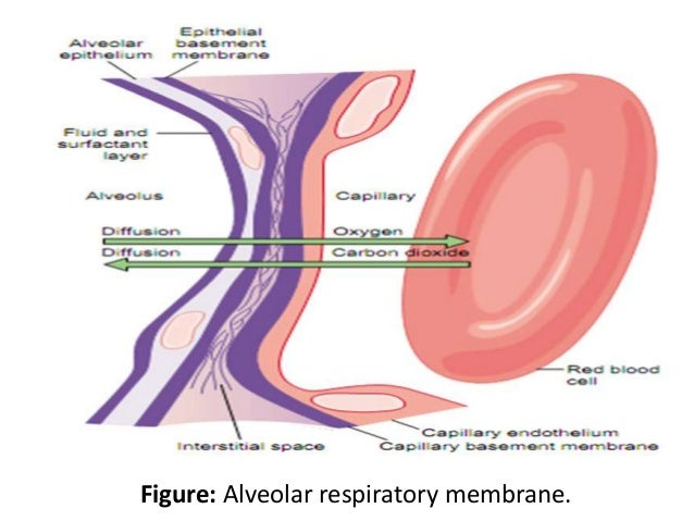 Diagram Of Respiratory Membrane Wiring Library