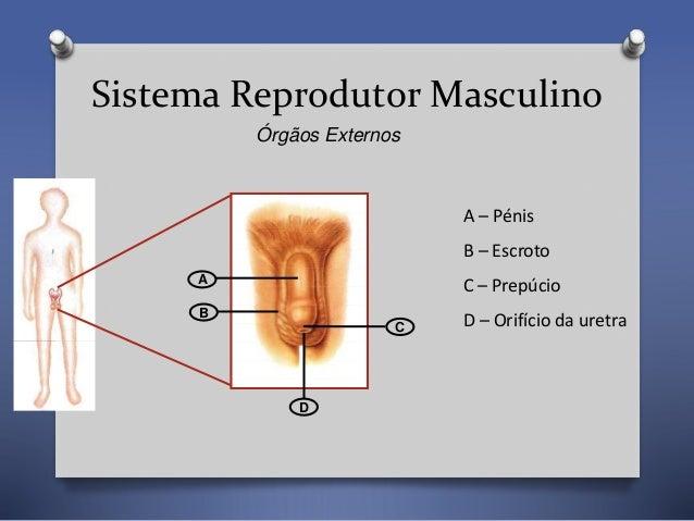 CN9-sistema reprodutor-anatomia Slide 2