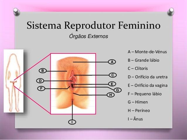 CN9-sistema reprodutor-anatomia Slide 3