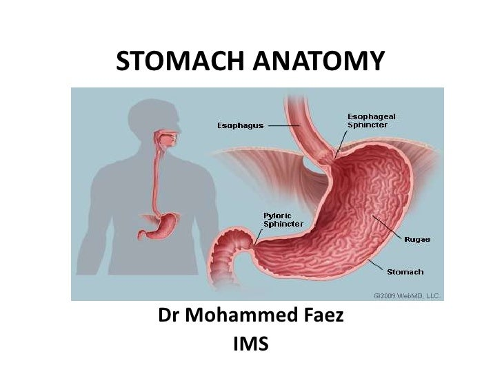 STOMACH ANATOMY<br />By<br />Dr Mohammed Faez<br />IMS<br />