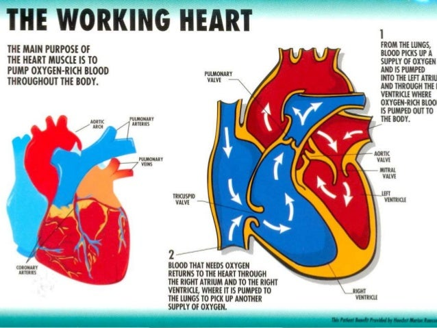 structure and function of the heart, Sphenoid