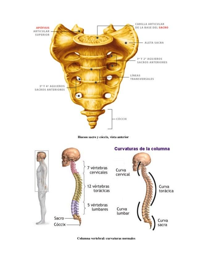 Lujo Hueso Vertebral Imágenes - Imágenes de Anatomía Humana ...
