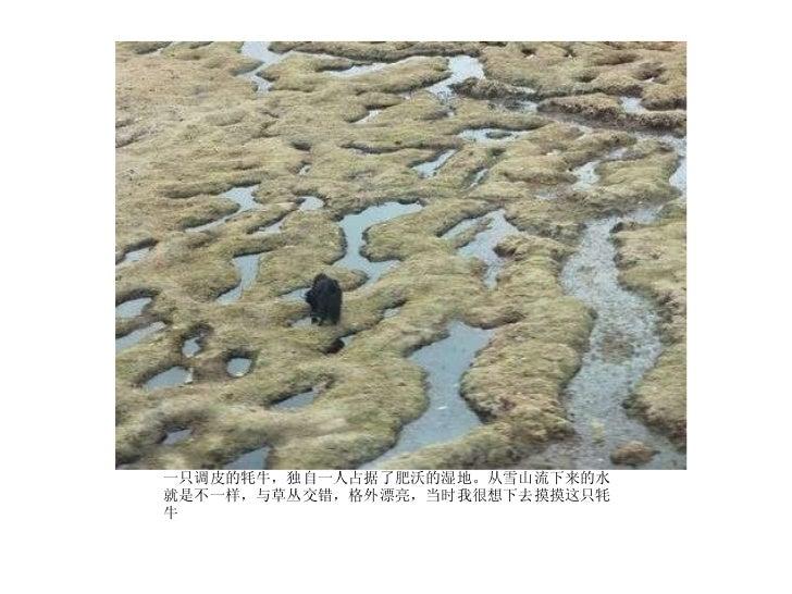 <ul><li>一只调皮的牦牛,独自一人占据了肥沃的湿地。从雪山流下来的水就是不一样,与草丛交错,格外漂亮,当时我很想下去摸摸这只牦牛 </li></ul>