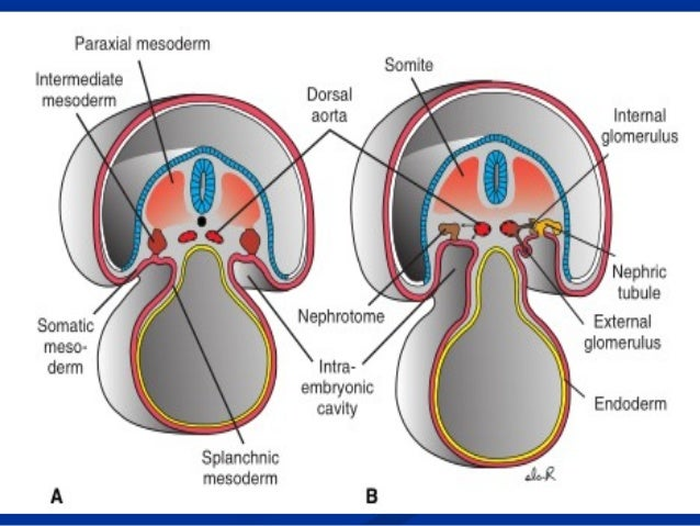 10digestivesystem in addition Regional anatomy diagram moreover Digestive System in addition 150086 moreover Cross Section Of Human Kidney With Label Parts. on dorsal abdominal cavity