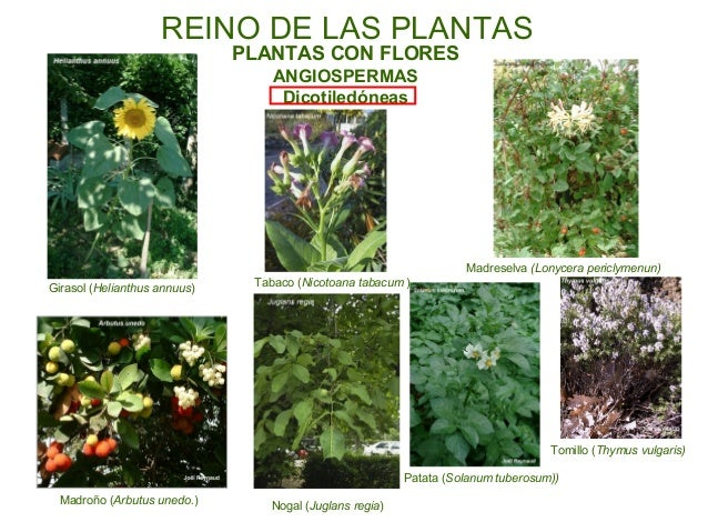 musgos helechos plantas con flores leñosas gimnospermas plantas