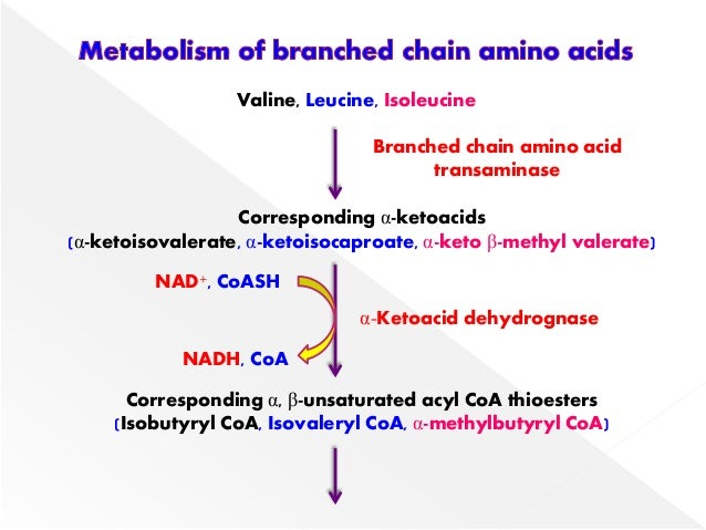 BRANCHED CHAIN AMINO ACID METABOLISM