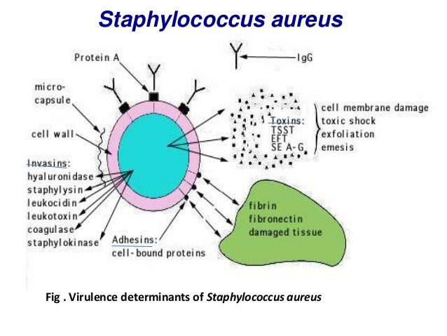 staphylococcus and streptococcus  Staphylococcus